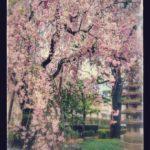 新宿ゴールデン街 桜まつり2017へ行ってきた🍺