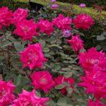 旧 古河庭園 バラと洋館のライトアップの最終日は、やっぱり混雑模様だった🌹